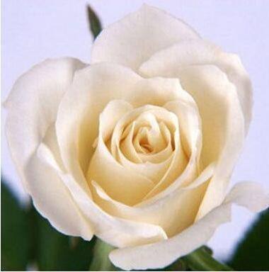 Pots de fleurs jardinières, 20 sortes de 100 graines, Rainbow Rose graines belle rose graines bonsaïs graines pour la maison et le jardin 10