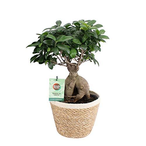 Bonsai von Botanicly – Bonsai mit dekorativem Übertopf als Set – Höhe: 50 cm – Ficus Gin Seng