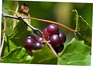 GBH 30 Fresh Seeds Muscadine Grape Vitis Rotundifolia - RK1610