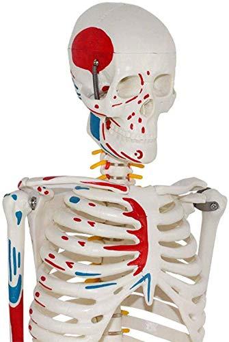 WOHAO Modelo médico y el Libro de Texto Esqueleto Modelo anatómico - Tamaño 85cm Vida Humana Esqueleto de Enseñanza Modelo anatómico - Médico Completo Esqueleto anatómico