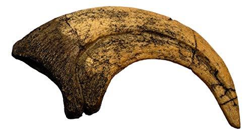 Deinonychus Raptor Dinosaur Claw Replica - Museum Quality Cast Fossil Specimen