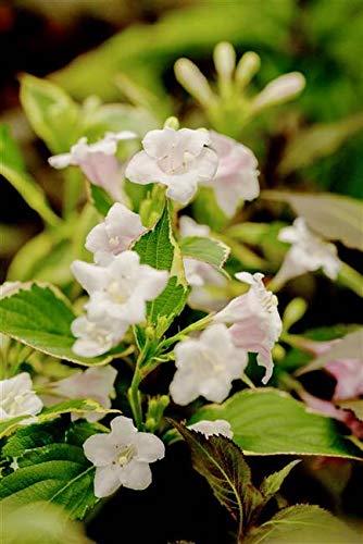 Buntblättrige Weigelie Weigela florida 'Nana Variegata' ca. 40-60cm