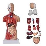DYSND Human Anatomy anatomico modalità Torso Modello del Corpo Umano organi del Corpo Skeleton Anatomy Poster Manichini Corpo Accessori for Il Giocattolo Medica (Color : Model)