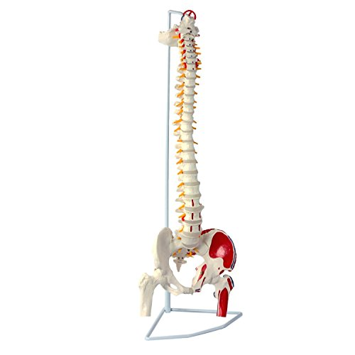 "Wellden Classic Flexible Spine Model with Femur Heads and Painted Muscles, Flexible, Life Size, 90cm/35.4"", Stand Included"