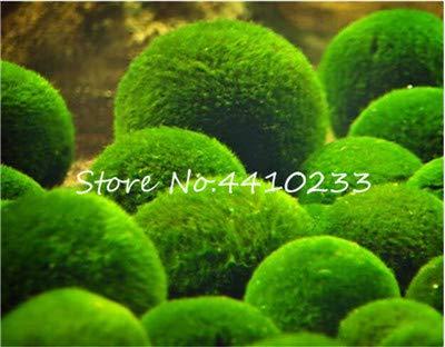 Bloom Green Co. 200 Stück Diy Fisch-Behälter im Wasser Bonsai Anlage für Aquarium Moss Für Hausgarten Easy Grow Wasser Pflanzen Hohe Keimung: b