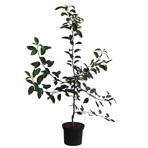 Müllers Grüner GArten Shop Cox Orange Renette sehr gutes Aroma saftig süß Buschbaum 150-170 cm 10 Liter Topf Unterlage M7