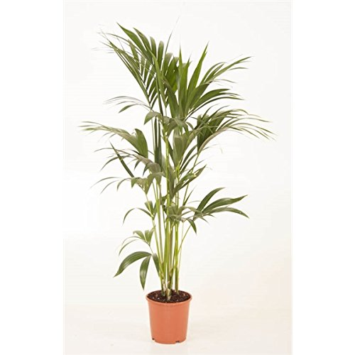 Blumen-Senf Kentia Palme 140-150 cm Howea forsteriana