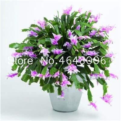 Shopvise 50Pcs / Sac Hanging Schlumbergera Zygocactus Flores Graines de cactus Graines As, Graines de jardin, Facile à graines: 15