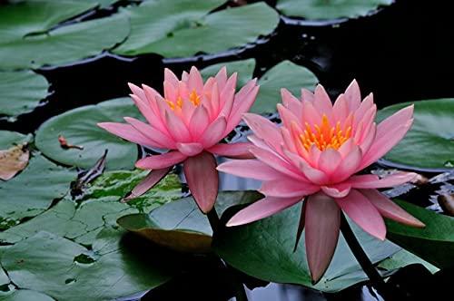 Nenúfares naturales,Planta viva de hoja verde enverdecimiento.Delicadas flores en plena floración-2,30pcs