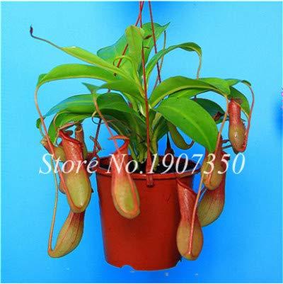 Shopmeeko Graines: Bonsai 100 Pcs/Sac Moucherolle Rare Rillettes Mixte insectivores Bonsai Plante Dionaea géant clip Dionée bateau libre: 14
