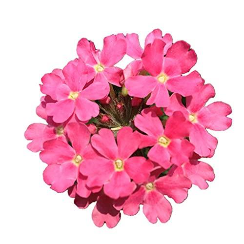 Charm4you Raras Semillas de Hierba,Sala de Pruebas Fulu balcón Exterior Seed-Cosmos 500pcs,Semillas Ornamentales de Hierba
