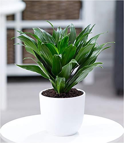 BALDUR Garten Dracena Compacta, 1 Pflanze Luftreinigende Zimmerpflanze Drachenbaum Drachenlilie