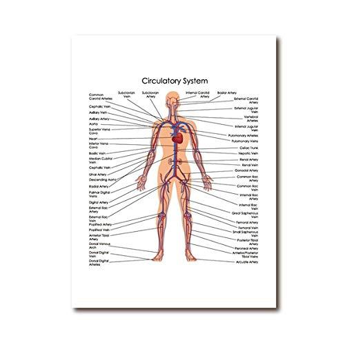 Humano Cuerpo Circulatorio Sistema Poster Médico Educación