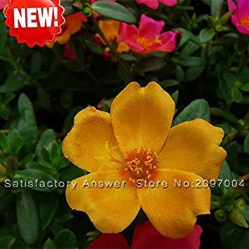 GEOPONICS New Arr !! 100 Samen/orange Sun Samen Balkon Garten Topf Bonsai Samen Scutellaria barbata Seeds packen
