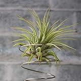 エアープランツ チランジア イオナンタ ルブラ Sサイズ【幅約7cm×高さ約6cm Sサイズ/1個】T.ionantha 'Rubra' 品種で選べる人気のエアプランツ!初心者にも育てやすく、リビングやオフィスのインテリアに!【造花ではありません。生きているエアープランツです。※商品の特性上、背丈・形・大きさ等、植物には個体差がありますが、同規格のものを送らせて頂いております。また、植物ですので多少の枯れ込みやキズ・折れ等がある場合もございます。予めご了承下さい】