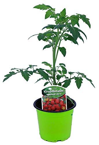 Tomatenpflanze, Supersweet-100 F1, Veredelte Kirschtomate, Cocktailtomate, Tomatenpflanzen