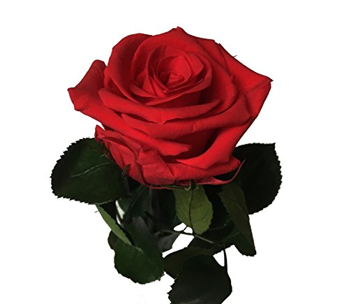 Decoflorales® - Eine echte, konservierte Rose. Unvergängliche Rose. Haltbare Rose. Ewig blühende Rose. Farbe rot, Länge 25-27 cm