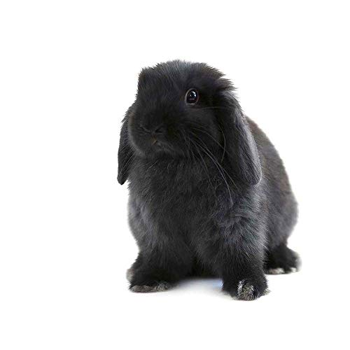 Wee Blue Coo Black Holland Lop Bunny Rabbit Unframed Wall Art Print Poster Home Decor Premium