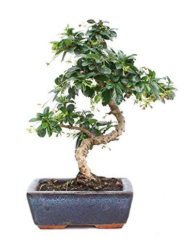 Carmona Microphylla Bonsái 6 Años Té de Filipinas, Té de Fukien o Arbusto Escorpión