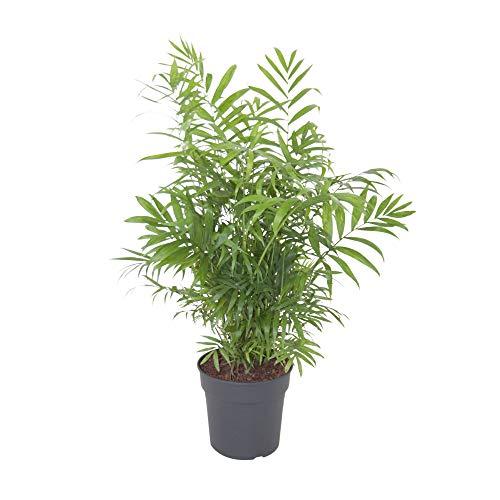 Chamaedorea Elegans | Palmier nain du Mexique | Hauteur 40-50cm | Pot de ø 12cm