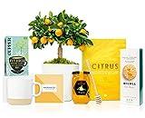 Lote Gourmet Regalo Dulzura con Naranjo Enano Calamondin 38 cm, taza de cerámica, infusión ecológica, galletas artesanales, miel de azahar, cuchara para miel y libro de recetas en caja de regalo