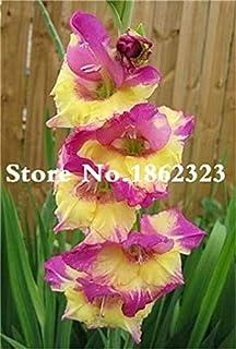 GEOPONICS Semillas: Multi-Color gladiolo de flores (No Gladiolo Bulbos), el 95% de germinación, bricolaje aeróbico en maceta, Rare gladiolo Bonsai Flor-120 PC: 15