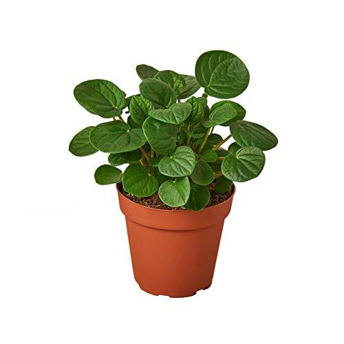 Tree Plant - Peperomia 'Rana Verde' - 4