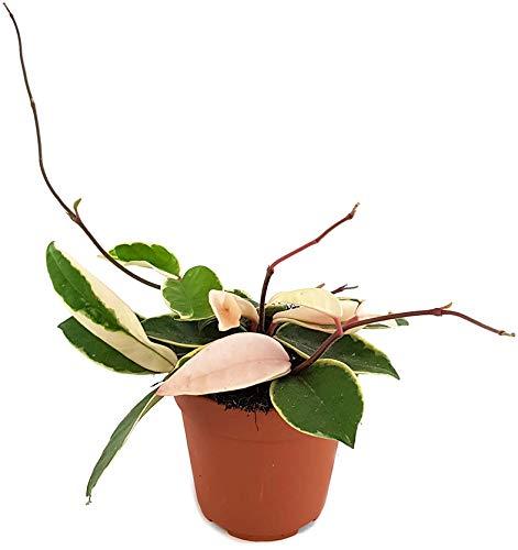 Fangblatt - Hoya carnosa Krimson Queen - wunderschöne hängende Zimmerpflanze ebenso Wachsblume oder Porzellanblume genannt - pflegeleichte Pflanze für das Wohnzimmer mit fantastischen Blüten