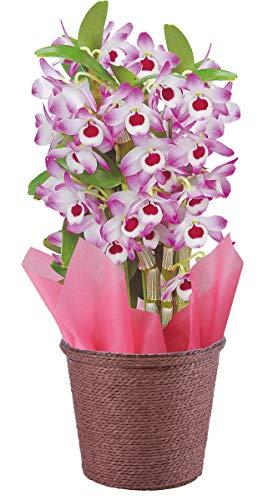 花のギフト社 デンドロビューム 洋蘭 鉢花 鉢植え 花鉢 花 プレゼント デンドロビウム 4号鉢