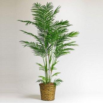 Creative farmer Bamboo Palm Seeds (Pack of 10)