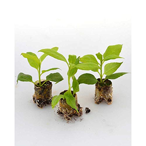 Gemüsepflanzen - Topinambur/Papas® - Helianthus tuberosus - 3 Pflanzen im Wurzelballen