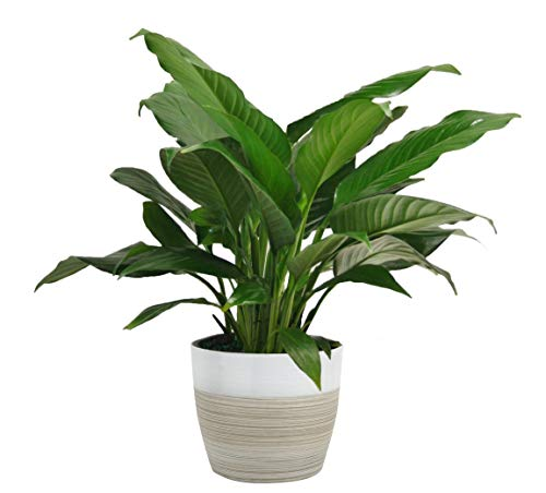 Costa Farms Spathiphyllum Peace Lily Live Indoor Plant, 15-Inch, White-Natural Décor Planter