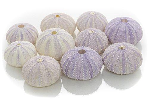Sea Urchin   10 Purple Sea Urchin Shell   10 Purple Sea Urchin Shells for Craft and Decor   Plus Free Nautical eBook by Joseph Rains