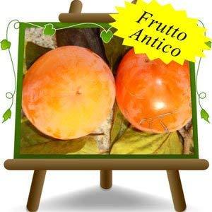 Kaki Tipo - Pianta da frutto Antico su vaso da 26 - albero max 200 cm - 4 anni
