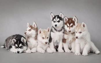 Poster Adorable Husky Chihuahua Dog Pet Room Art Wall Cloth Print 13