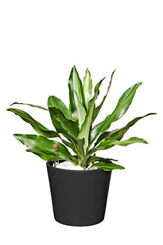 EVRGREEN | Zimmerpflanze Drachenbaum in Hydrokultur mit schwarzem Topf als Set | Dracaena fragrans Cintho