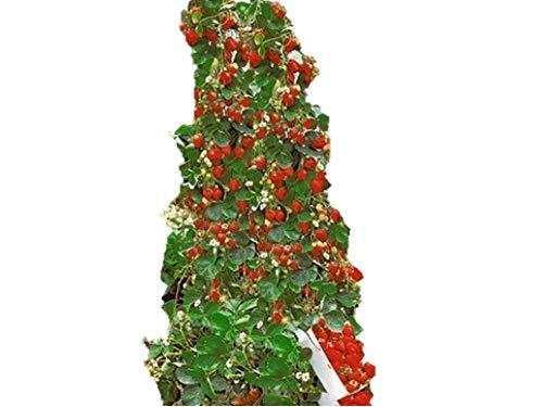 珍しい イチゴタワー 種 36粒