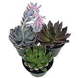 Pack de 3 Plantas Crasas Variadas Pequeñas en Maceta de 5cm