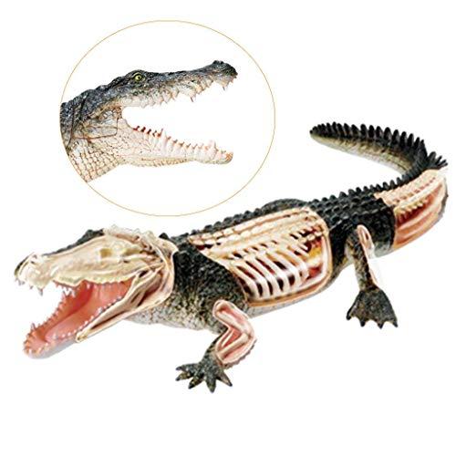 LIBAI Modelo de cocodrilo: Modelo anatomico Animal Desmontable, simulacion Animal biologico Organo de cocodrilo Parte del Cuerpo Desmontable para Ayuda de Entrenamiento Educativo Medico