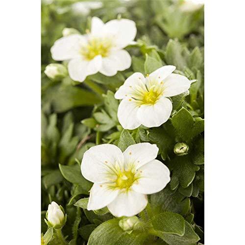 Garten-Moos-Steinbrech, Blüte weiß, Saxifraga x arendsii - im Topf 11 cm, in Gärtnerqualität von Blumen Eber - 11 cm