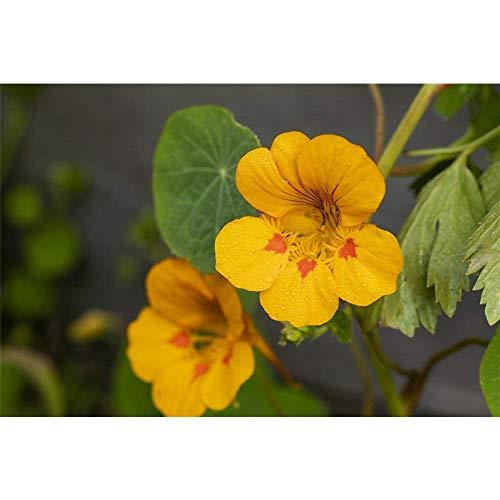 Kapuzinerkresse 'Tip-Top Gold' - Tropaeolum minus 'Tip-Top Gold', Kräuterpflanze im Topf 11 cm - 11 cm
