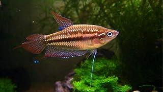 【熱帯魚・アナバス】 ピグミーグラミー ■サイズ:Mサイズ (5匹)