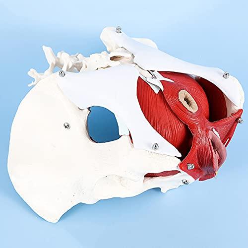fall Modelo de Piso pélvico, Pelvis Femenina con órganos - músculos pélvicos de Suelo y órganos reproductivos - órganos extraíbles