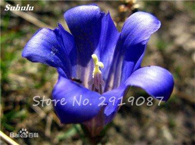 Haute qualité bonsaïs 100 Pcs Largeleaf gentiane Graines vivace Fleur bleue Graine Blooming Plantes Diy jardin Ménage 7