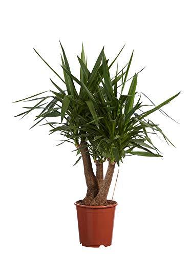 Plante d'intérieur de Botanicly – Pied d'éléphant – Hauteur: 100 cm – Yucca elephantipes