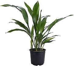 American Plant Exchange Cast Iron Plant Pet Friendly Live, 6