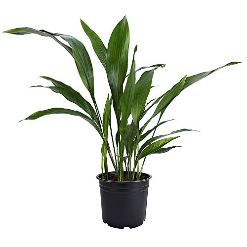American Plant Exchange Cast Iron Plant Pet Friendly Live, 6' Pot,...