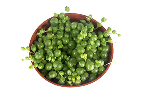 String of Pearls - 4'' from California Tropicals