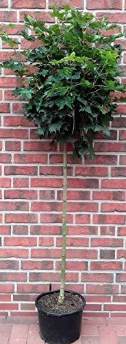 Kugelahorn, Sorte: Globosum, Höhe: 180-190 cm, Ahorn + Dünger