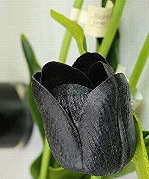 Black : 1000 PC 16kinds courtyard high-grade blue striped tulips seeds flower seed, the world's rare bonsai seeds, flowers plant